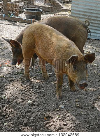 Two pigs on a farm playing in dirt