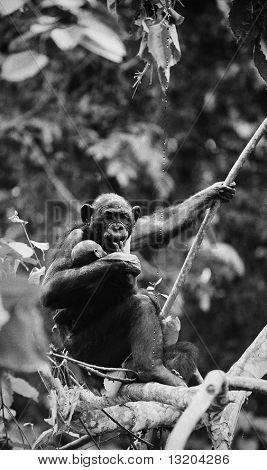 Bonobo With A Cub