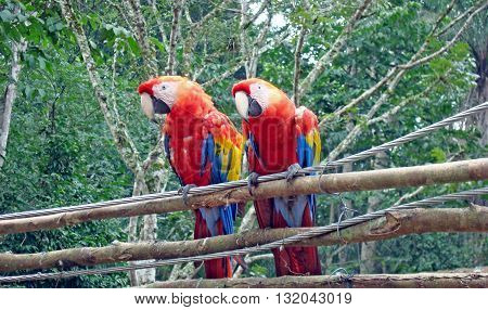 Two scarlet macaw birds resting at a sanctuary