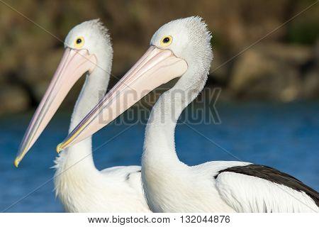 A close up portrait of a pair of Australian pelicans (Pelecanus conspicillatus) set against a creek.