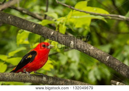 A Scarlet Tanager perched in a tree.
