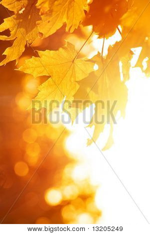 Orange maple leaves. Autumn concept.