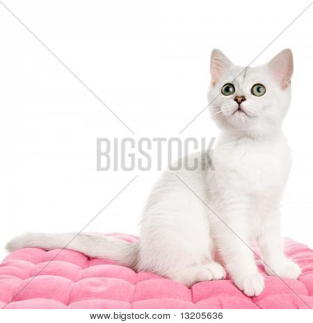 Beautiful british kitten sitting on a pink pillow. Isolated on white background