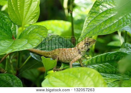 Chameleon on green leaf in the tropical forests of Thailand basilisk animal.