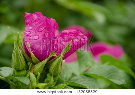 Fresh Briar Flower In Redmond Town Center After Rain