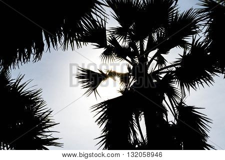 silhouette sugar palm tree for background and texture