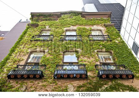 An old architectured building in Chicago city covered by green vines growing on its wall. This ancient architectured building looks beautiful. On the background, skyscrappers are seen.