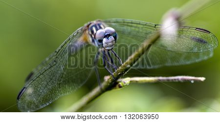 Female Petite Emerald Dragonfly - Dorocordulia lepida