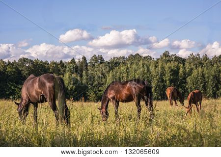group of chestnut horses graze in a paddock