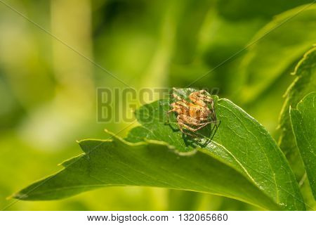 Macro of a tan crab spider on green leaf.