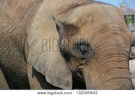 Elephants are large mammals of the family Elephantidae and the order Proboscidea. Two species are traditionally recognised, the African elephant (Loxodonta africana) and the Asian elephant