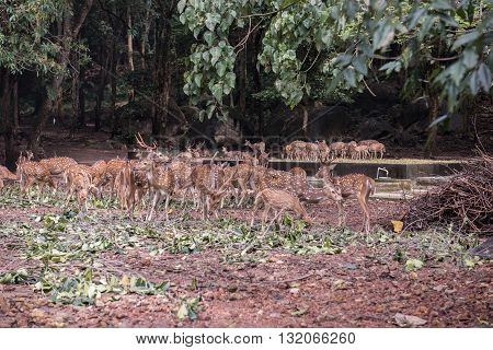 Herd of beautiful deers in the Neyyar Wildlife sanctuary in Neyyar reservoir at Thiruvananthapuram, Kerala. On the background, the lush green forest view is seen.