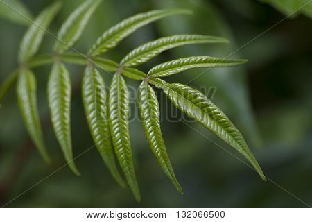 Green Frond of a Sumac Bush in Alabama.