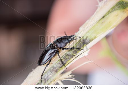 Picture of a black colored bug insect on a sugarcane stick being sold in Phou Khoun, Laos. These insects feeds on fruits and vegetables Close up of the insect looks amazing.