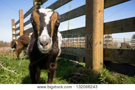It's a Goat with no ears coming to investigate me and my gear