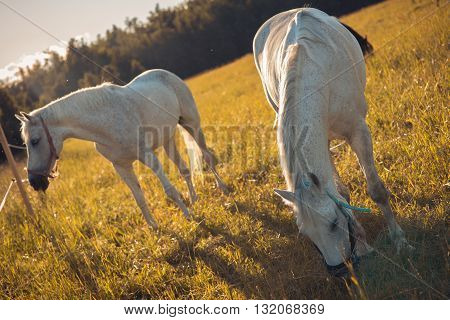 couple of white horses graze in a paddock