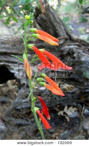Scarlet Penstemon Blooms