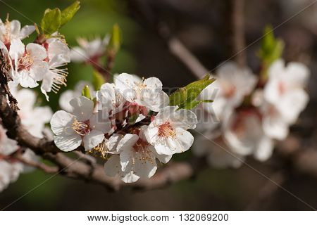 Branch of blossoming apricot. White apricot flowers. Floral nature background