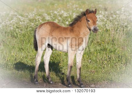 a young foal of the swedish gotland pony