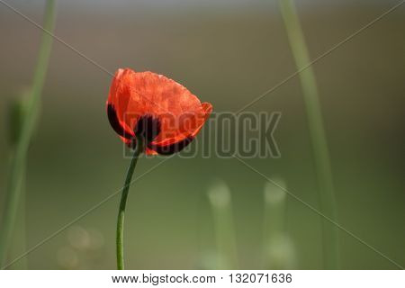 Lone red poppy in a field. Macro. Floral nature background