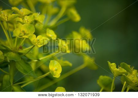 Large milkweed flowers on a dark green background. Macro. Floral nature background