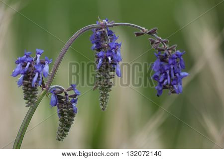 Branch of blue field flowers. Macro. Floral nature background