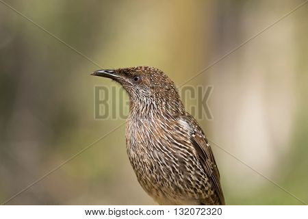 Closeup of Little Wattle Bird (Anthochaera) with blurred garden background in Australia
