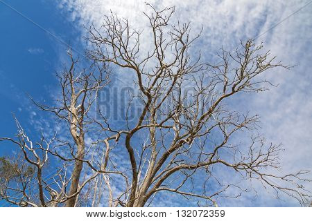 Leafless branches of tree against blue sky during Autumn season in the South of Australia
