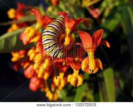 Monarch butterfly larvae on orange and yellow butterfly bush flower.