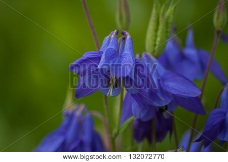 Blue garden aquilegia flowers. Macro. Floral nature background
