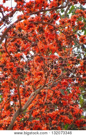 A background of a tree with beautiful red flowers in the Indian tropical jungle.
