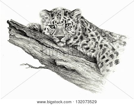 Sketch - Leopard Leopard lying on the tree. On white background. Detailed pensil drawing