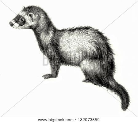 Ferret isolated on white background, hand drawing