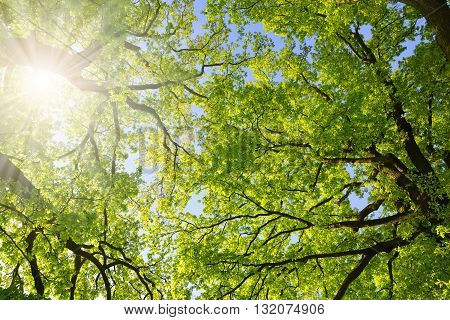 Lush green spring branches of oak tree with sunlight. Nature background.