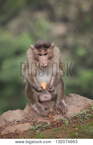 A bandar as a monkey is called India eating a biscuit given by a tourist.