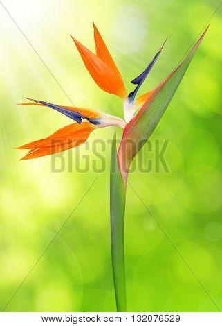 Strelitzia reginae, bird of paradise flower on green natural background.