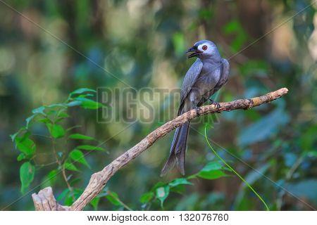 Beautiful Ashy Drongo (dicrurus Leucophaeus)