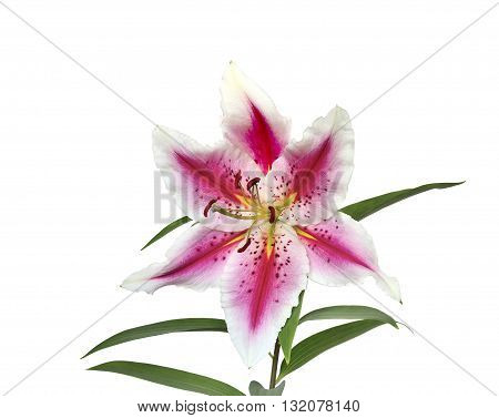 Elegant spotted pink lily with wavy petals close-up isolated on a white background