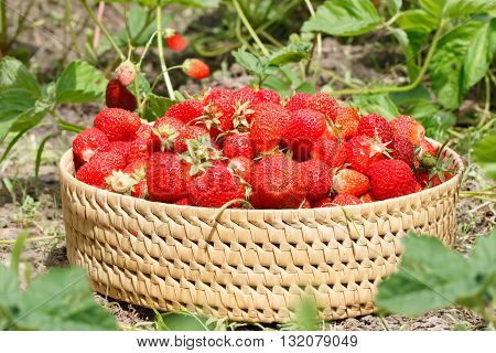 ripe strawberries to the basket in the garden