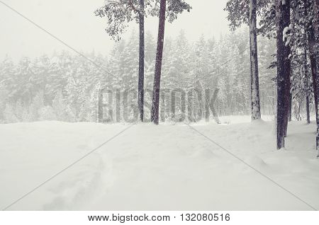 Snowfall In Winter Forest.