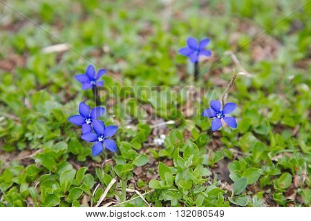 Small alpine flower growing in the mountains