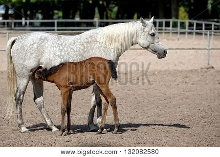 Mare with brown foal in the meadow