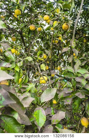 Lemon tree loaded with ripe fruits among green leaves