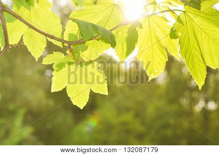 green leaves on the branches in the spring against the sun, filter