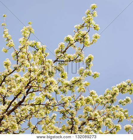 Blooming apple tree in spring time. Russia.