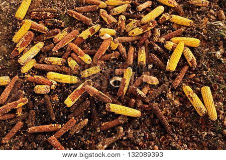 Corn Cobs Milled As Animal Feed. Waste From The End Of Corn Shelling Process