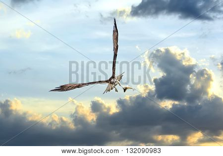 Osprey flying in the clouds at sunset over the Chesapeake Bay with a fish in talons