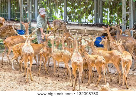 Ho Chi Minh City, Vietnam - May 24th, 2016: Deer to eat in zoo with deer gathered around, each child eating every day to preserve this rare animal species in Ho Chi Minh city, Vietnam