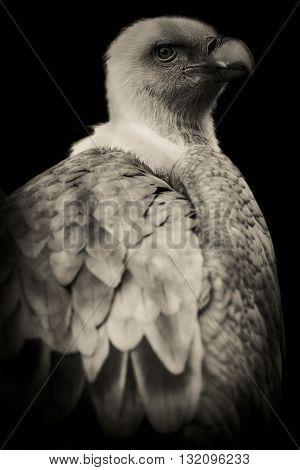 cute rapacious bird black and white portrait