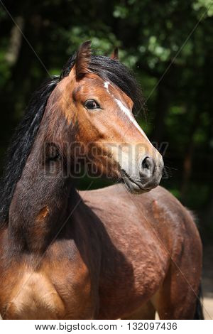 Lovely Brown Pony With Nice Black Mane Looking At You